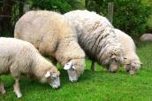 ovelhasjpg13019045915pm.jpg